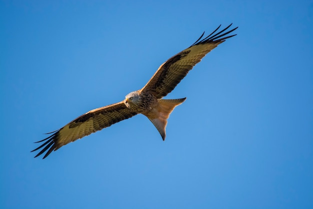 Rotmilan im flug mit blauem himmel