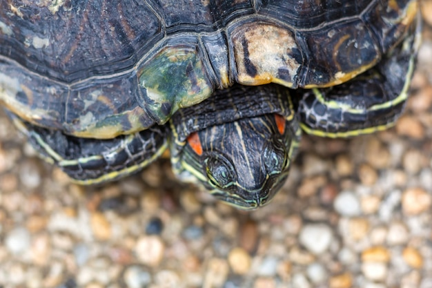 Rotohrschildkröte - trachemys scripta elegans. rotohrige wasserschildkröte im sommersonnenlicht