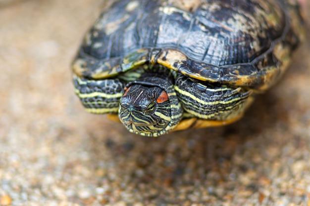 Rotohrschildkröte - trachemys scripta elegans