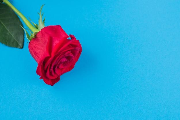 Rotrose auf blauem hintergrundhintergrund für achte märz und valentinstag