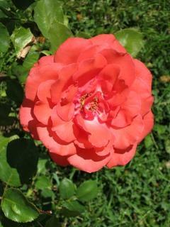 Rotroseblume