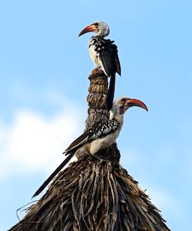 Rotschnabelhornvogel, tockus erythrochynchus, samburu game reserve, kenia