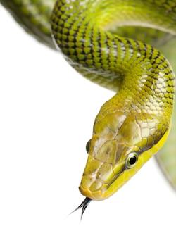 Rotschwanz-grüne rattenschlange - gonyosoma oxycephalum auf einem weißen isolierten