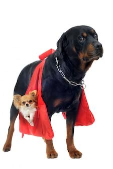 Rottweiler hält einen chihuahua