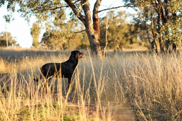 Rottweiler hund, der im goldenen nachmittagslicht steht und berglandschaft bewundert