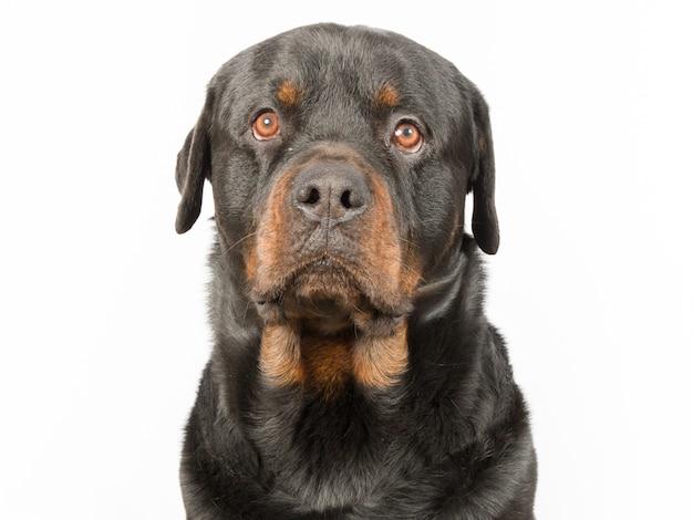Rottweiler-hund, der sich hinsetzt und auf weiß lokalisiert wird
