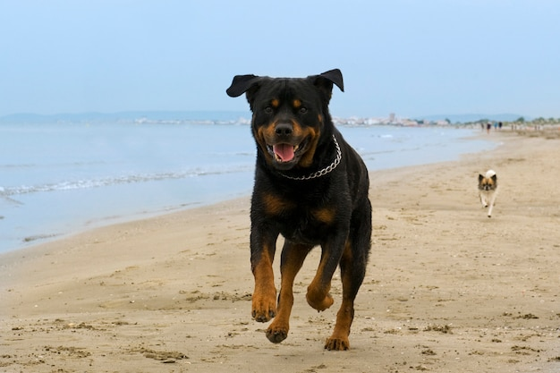 Rottweiler läuft am strand