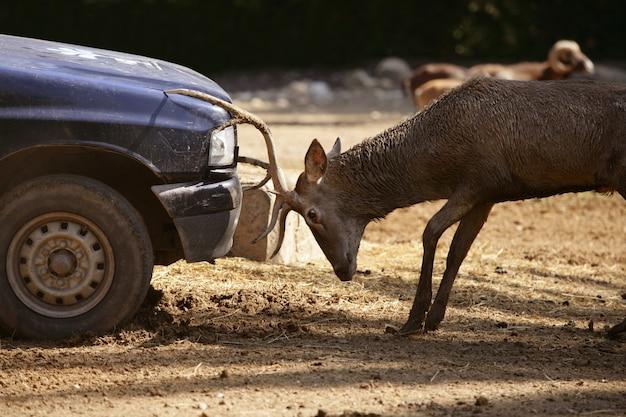 Rotwild, das mit einem auto, energiekampf kämpft