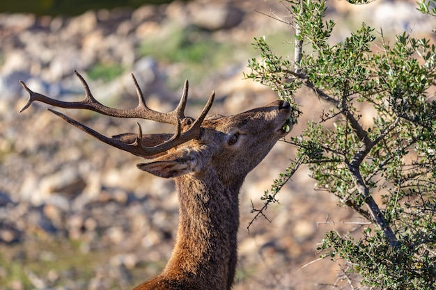 Rotwild, die im nationalpark monfrague essen. extremadura. spanien.