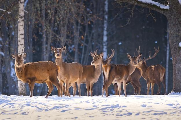 Rotwild im waldnationalpark an einem kalten wintertag