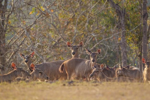Rotwild im wilden, phu-keaw nationpark, chaiyaphum thailand