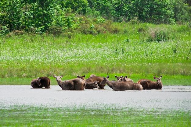 Rotwild, nationalpark khao yai, thailand