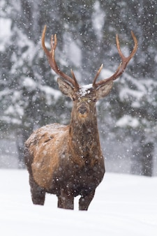 Rotwildhirsch, der im tiefen schnee steht und in der winternatur in die kamera schaut