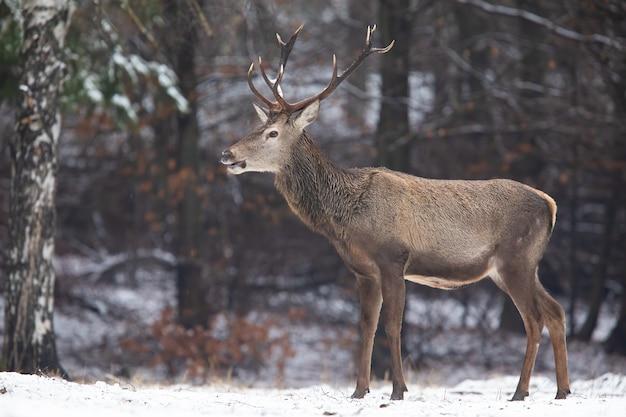 Rotwildhirsch, der im wald in der winterzeitnatur steht.