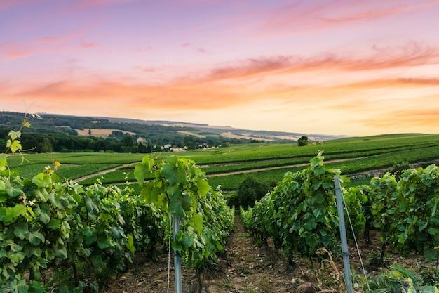Row rebe traube in champagner weinbergen am montagne de reims, reims, frankreich