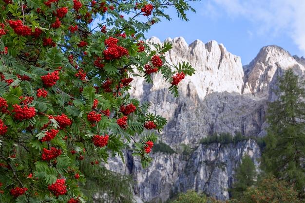 Rowan tree auf dem hintergrund der berggipfel.