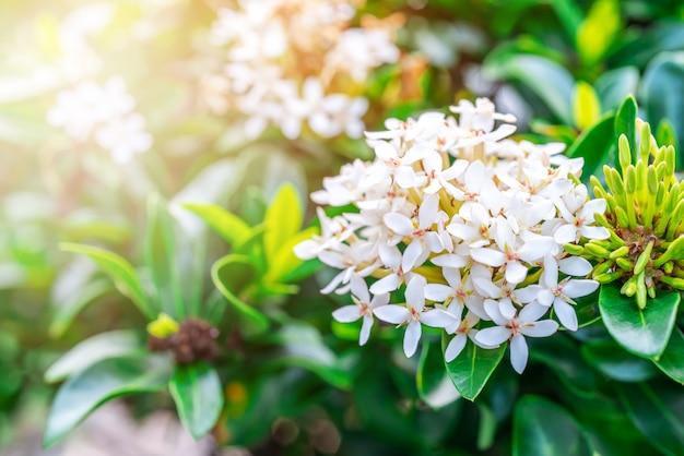 Rubiaceae weiße blume, medizinische eigenschaften Premium Fotos