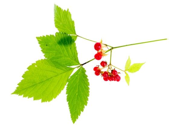 Rubus saxatilis zweig mit blättern und roten beeren.