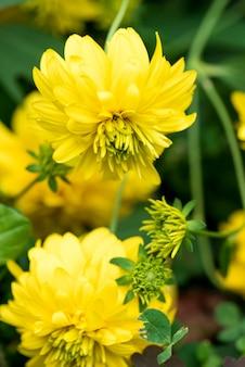 Rudbeckia goldene kugeln. rudbeckia. schöne gelbe gartenblumen.
