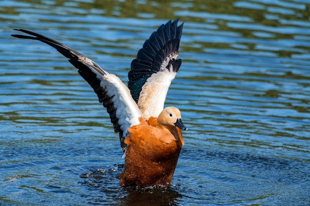 Ruddy shelducks oder tadorna ferruginea schwimmen in einem see