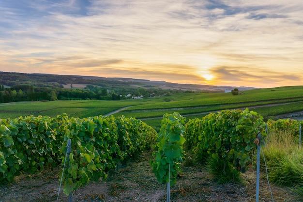 Ruderrebe in champagner-weinbergen bei montagne de reims, reims, frankreich