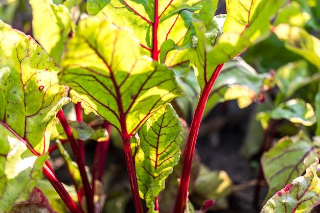 Rüben im garten. anbau natürlicher rüben unter natürlichen bedingungen ohne chemische zusätze.