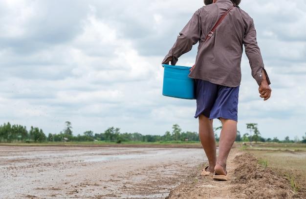 Rückansicht des asiatischen älteren landwirts, der geht und reissamen an reisfarm sät