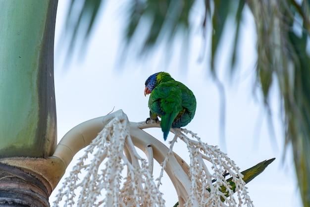 Rückansicht des rainbow lorikeet auf einer palme sitzend. tierkonzept.listro