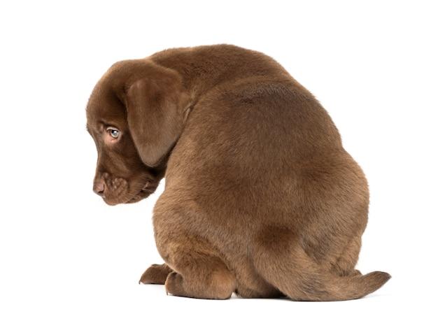 Rückansicht eines labrador retriever welpen sitzend