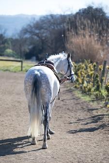 Rückansicht eines männlichen andalusiers, auch bekannt als das reine spanische pferd