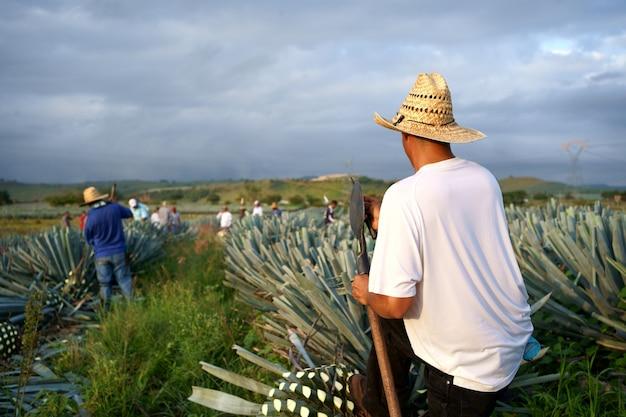 Rückansicht von bauern in einem strohhut, die eine agavenpflanze auf dem land ernten