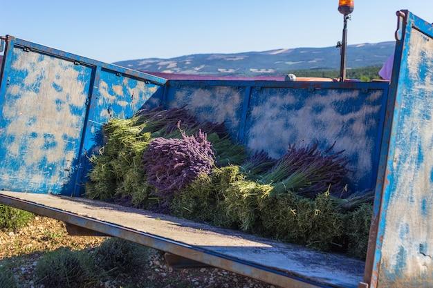 Rückseite des traktors, der lavendelsträuße aufnimmt. traditionelle lavendelsammlung zum trocknen.