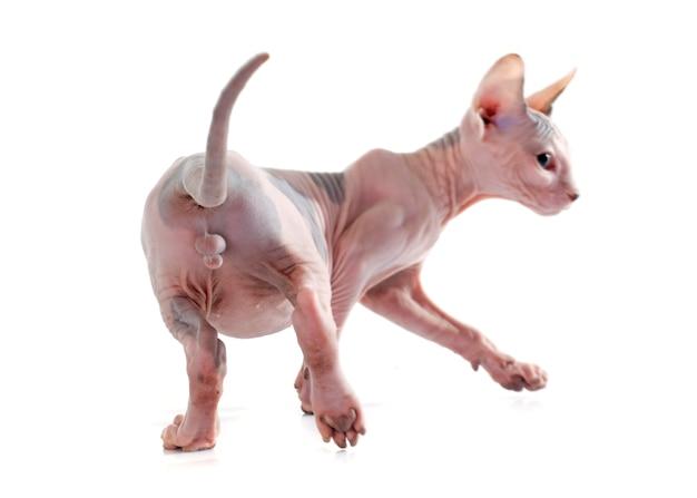 Rückseite von sphynx hairless cat