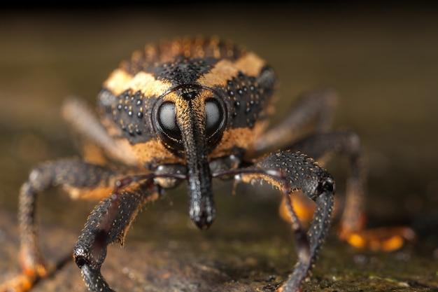 Rüsselkäfer nahaufnahme mit großen augen