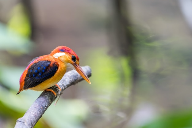 Rufous-backed baby kingfisher vogel thront und ruht sich aus