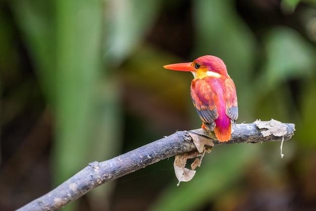 Rufous-backed eisvogel hockte und schaute