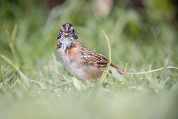 Rufous-collared sparrow (zonotrichia capensis) auf der suche nach samen im gras