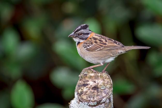 Rufous-collared sparrow (zonotrichia capensis) thront auf einem pfahl auf dem feld