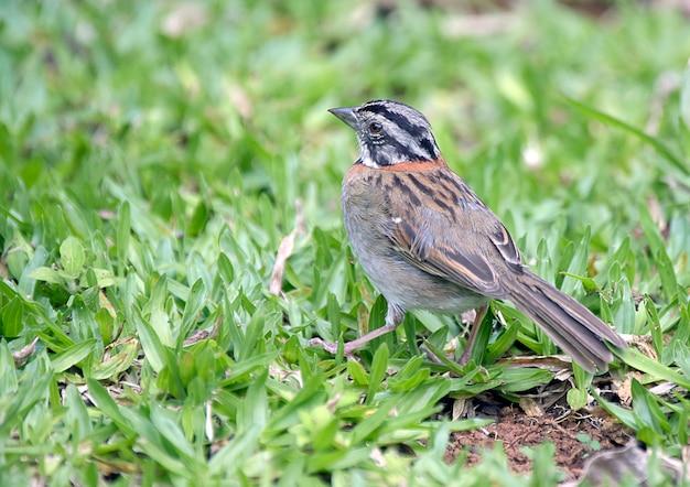 Rufous kragenspatzenjagd nach insekten im gras