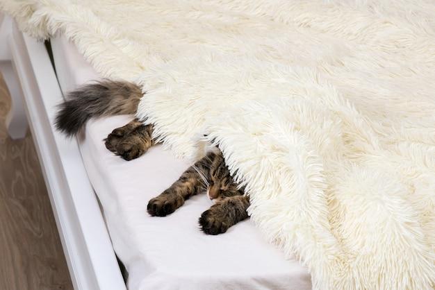 Ruhende katze bedeckt mit einer leichten felldecke