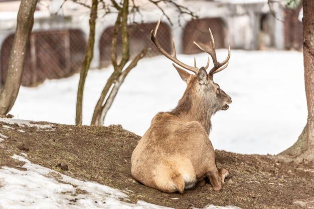 Ruhige rotwild, die unter einem baum in der winterzeit, kalter wintertag stillstehen