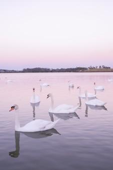 Ruhige szene gruppe von schwänen, die im natursee am morgen schwimmen. schwanenhintergrund mit reflexionsschwänen sind pfirsich- und liebessymbol