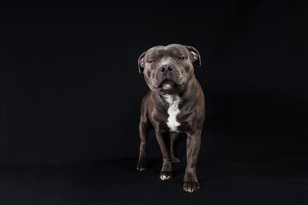 Ruhiger american staffordshire terrier, der im studio auf schwarzem hintergrund steht und in die kamera schaut