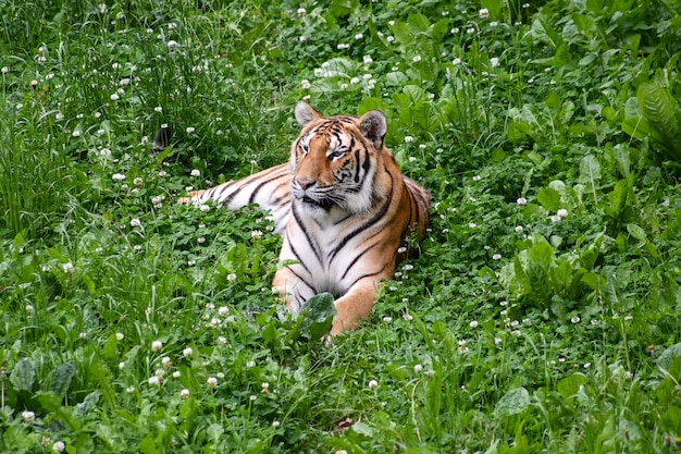 Ruhiger tiger, der auf dem gebiet liegt