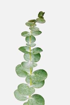 Runde eukalyptusblätter auf weißem hintergrund