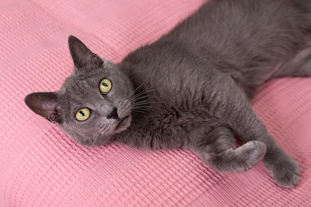 Russische blaue katze, die auf rosa sofa entspannt