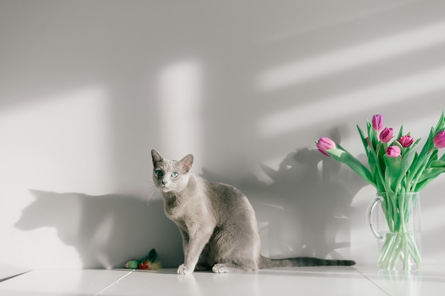 Russische blaue katze, die auf tisch sitzt. schönes kätzchen, das mit blumen auf grauem hintergrund aufwirft