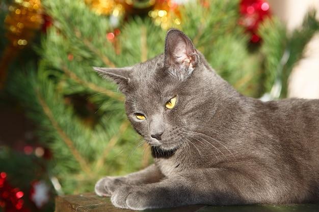 Russische blaue katze spielt mit einem weihnachtsspielzeug. weihnachtszeit, neujahr, feiertage und feiern.