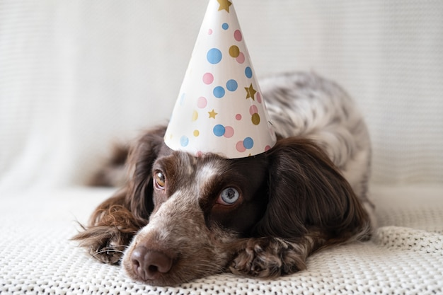 Russische spanielschokolade merle verschiedene farben augen lustiger hund, der partyhut trägt. traurige, hingebungsvolle augen.