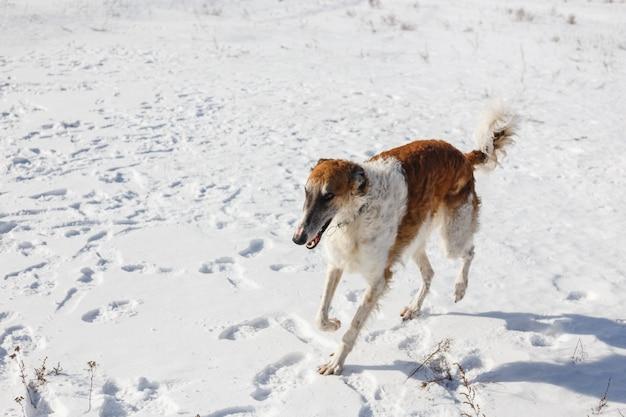 Russischer barzoi hund läuft durch ein schneebedecktes feld im winter